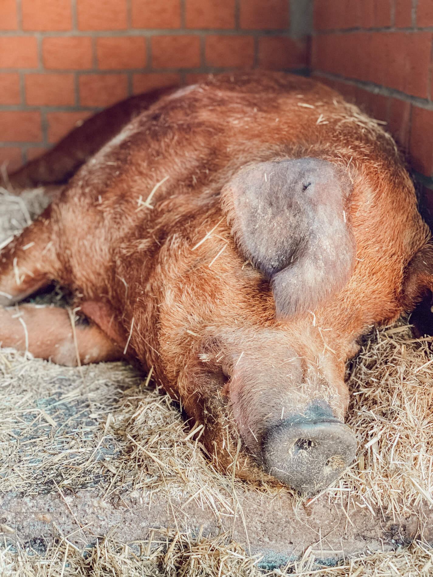 Stautenhof in Willich –  Tiere des Biobauernhofs
